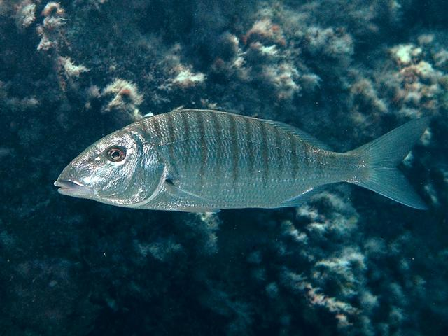 Pesca alla Mormora dalle spiagge di Palinuro