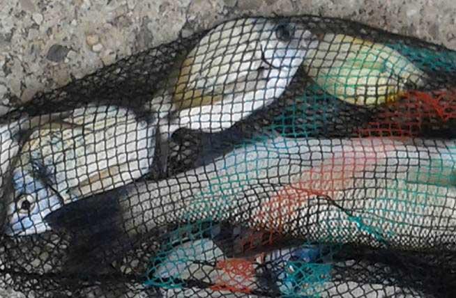 Pesca all'occhiata dal molo dei Francesi