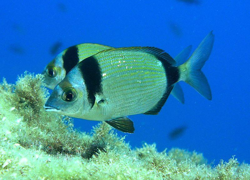 pesca-al-sarago-dalle-spiagge-delle-saline